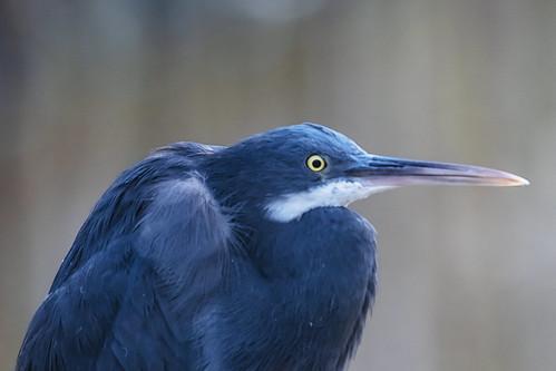 AIRONE BLU   ---   BLUE HERON