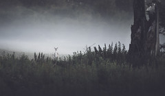 Fallow in fog