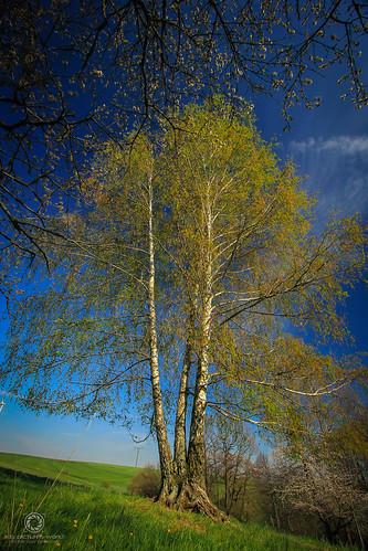 Dreistämmige Birke im Frühling