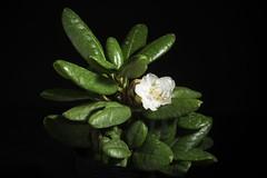 Rhododendron brachycarpum D.Don ex G.Don