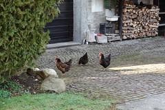 Chickens @ Brécorens @ Perrignier