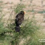 Aves en las lagunas de La Guardia (Toledo) 28-6-2020