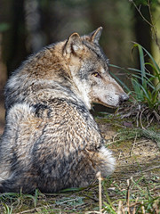 Resting wolf seen from behind