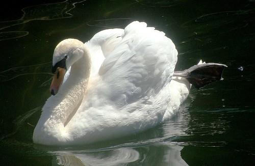 L'eleganza del cigno  -  Swan elegance