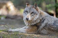 Wolf lounging!