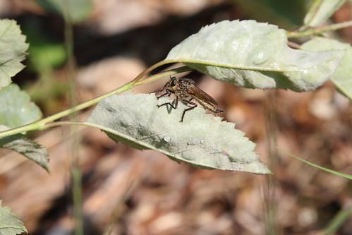 Roodbaardroofvlieg | Golden-tabbed Robberfly female (Eutolmus rufibarbis) | Oudemolen nl
