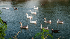 Goose Armada
