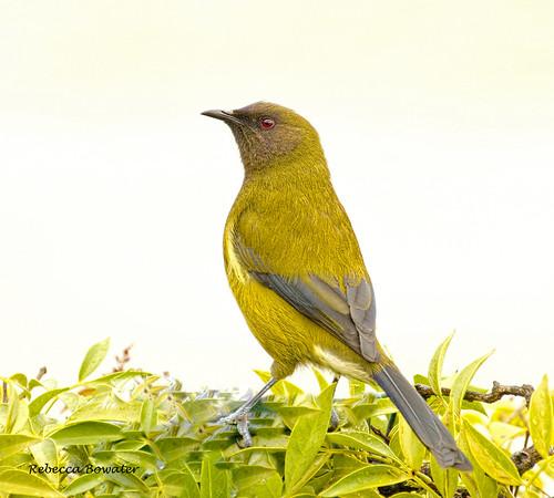Bellbird  'Korimako' (male)