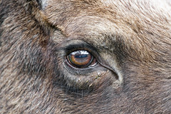 The eye of the elk