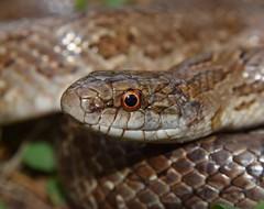 Prairie king snake (Lampropeltis calligaster)