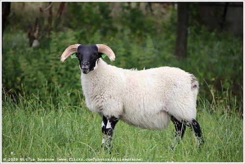 Schaap | Sheep | Овца