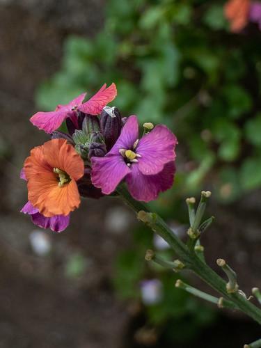 Muurbloem (Erysimum cheiri)