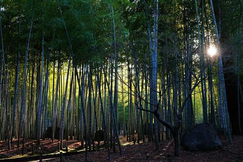 Le soir rôde dans les bambous