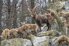 A big ibex family!