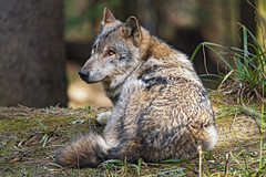 Resting wolf seen from behind II
