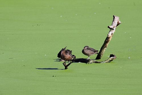 Ducks and an algal bloom