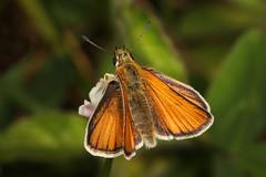 181/366 - European Skipper - Thymelicus lineola, Finzel Swamp, Finzel, Maryland