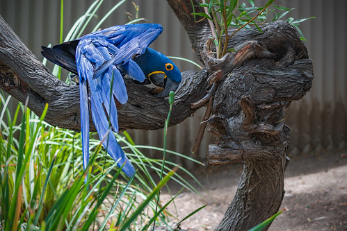 Hyacinth Macaw (Anodorhynchus hyacinthinus) at the San Diego Zoo Safari Park (6-28-2020)