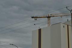 Vogel auf Leitung in Laar (137FJAKA_3964)