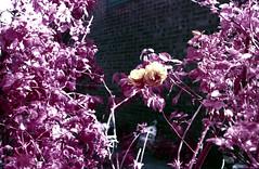 Infra-Rose