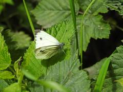 Green-Veined  White DSCN3588