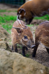 Red River Hog (Piglet)