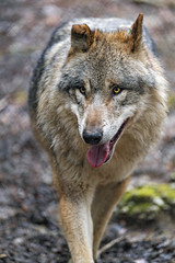 Wolf approaching, again