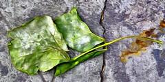 Leaf On Colima I (22 October 2015)