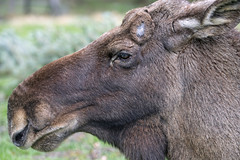 Another elk profile
