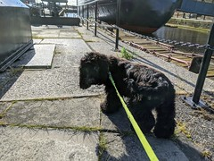 Dexter, Leith Docks, June 2020