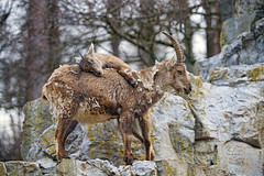 Baby ibex climbing on mom II