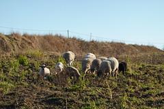 Sheep @ Loisin