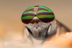 Tabanus sp female Horse Fly - Oklahoma