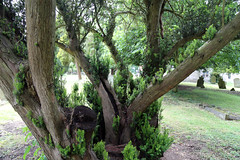 All Saints Church, Nazeing, Essex, England ~ churchyard east sprouting yew 02
