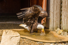Bald Eagle (Water)