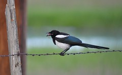 Magpie Eating a Worm