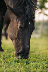 Focused picture of dark brown horse eating grass in the fields