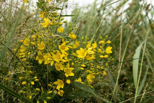 Grote wederik (Lysimachia vulgaris)