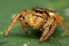Paraphidippus aurantius female - Oklahoma