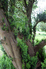 All Saints Church, Nazeing, Essex, England ~ churchyard east sprouting yew 01