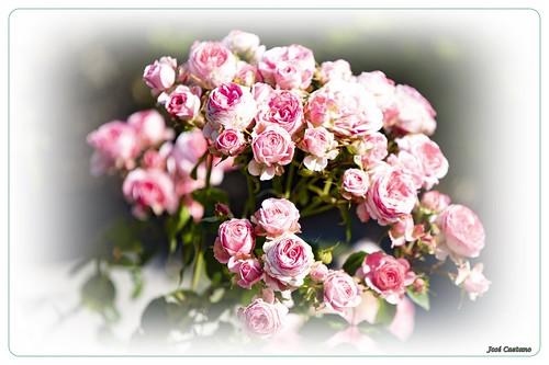 IMG_1811_Pink Roses