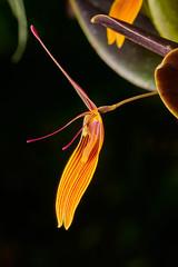 Restrepia brachypus orchid