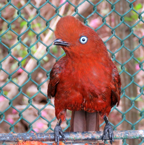 red cockatee