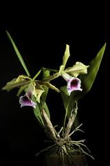 Cattleya tenebrosa 'Fumacina Fujita' (Rolfe) A.A.Chadwick, Classic Cattleyas: 157 (2006)