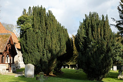 Abbess Roding - St Edmund's Church - Essex England - south churchyard yew trees 02