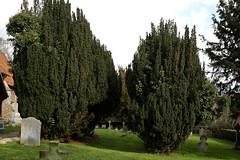 Abbess Roding - St Edmund's Church - Essex England - south churchyard yew trees 01