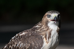 First-year red-tailed hawk