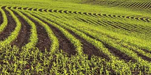 *corn field abstract*