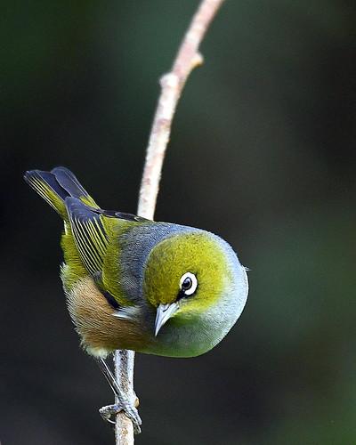 New Zealand Wax Eye