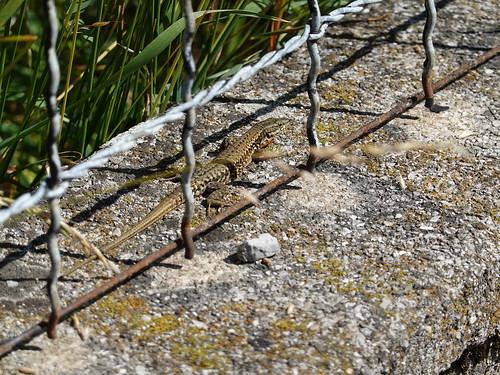 Lizard @ Faverges